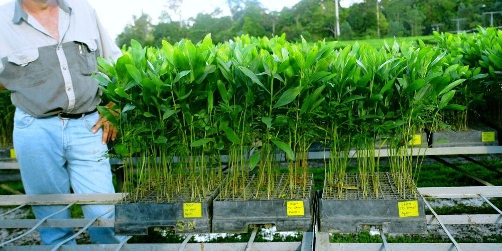 Acacia Seeding SK Specialties