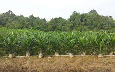 Oil Palm Main Nursery