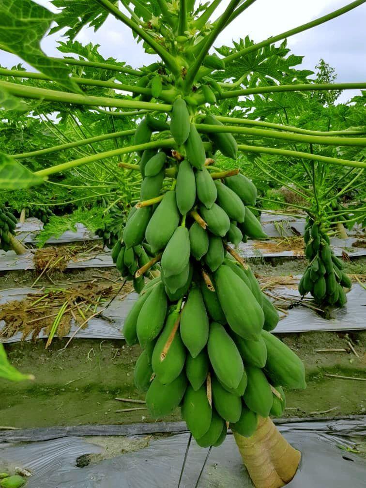 Papaya Planting by SK Cote