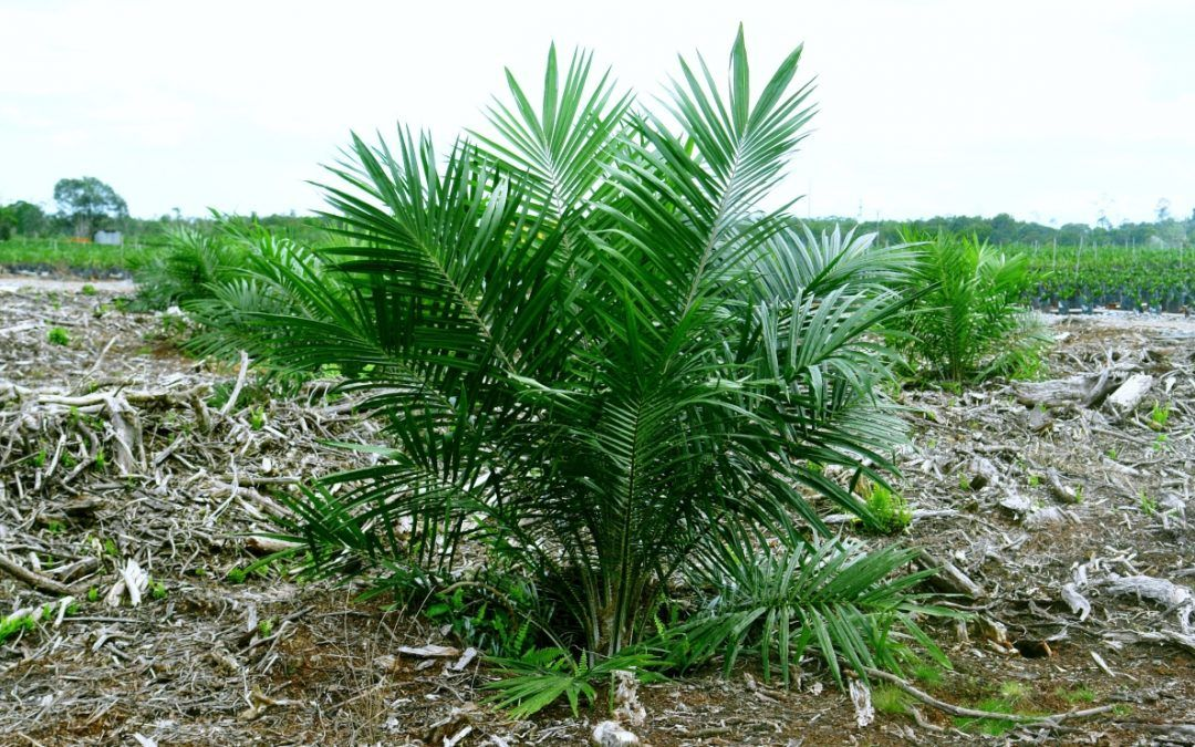 Sk Specialties Sdn Bhd-Young Immature Palm